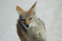 αλεπού etosha greyback στοκ εικόνες