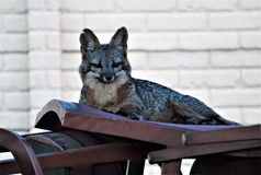 Αλεπού Gry στοκ εικόνες