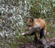 Αλεπού Little Red Στοκ Εικόνες