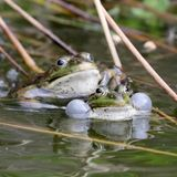 Αληθινοί βάτραχοι στη λίμνη Στοκ εικόνες με δικαίωμα ελεύθερης χρήσης