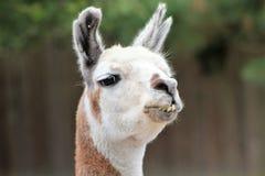 Αληθινό Llama στοκ φωτογραφία με δικαίωμα ελεύθερης χρήσης