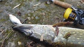 Αλιεία ενός λούτσου Στοκ φωτογραφία με δικαίωμα ελεύθερης χρήσης