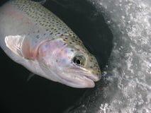 Αλιεία πάγου Oncorhynchus πεστροφών ουράνιων τόξων mykiss στοκ εικόνα με δικαίωμα ελεύθερης χρήσης
