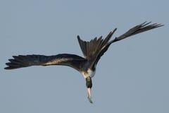 Αλιεία πουλιών φρεγάτων στοκ εικόνες