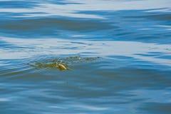 Αλιεία σε έναν γάντζο και τον ψαρά την τραβά από το νερό Στοκ φωτογραφία με δικαίωμα ελεύθερης χρήσης