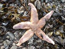 αλιεύστε το αστέρι Στοκ Φωτογραφία