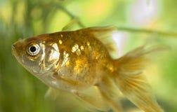 αλιεύστε το χρυσό Στοκ εικόνα με δικαίωμα ελεύθερης χρήσης