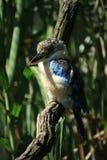 αλκυόνη πουλιών Στοκ Φωτογραφίες