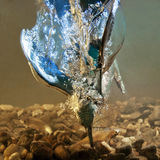 αλκυόνη ψαριών σύλληψης Στοκ εικόνα με δικαίωμα ελεύθερης χρήσης
