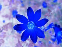 Αλλαγμένο άγριο λουλούδι Tickseed Στοκ εικόνα με δικαίωμα ελεύθερης χρήσης