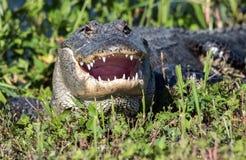 Αλλιγάτορας με το στόμα του ανοικτό στοκ φωτογραφία με δικαίωμα ελεύθερης χρήσης