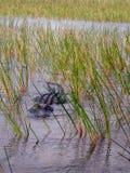 Αλλιγάτορας που κολυμπά στο εθνικό πάρκο Everglades στοκ εικόνες