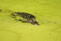 Αλλιγάτορας που κρύβεται σε μια γεμισμένη άλγη αντιμετώπιση λιμνών Στοκ Εικόνες