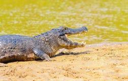 Αλλιγάτορας που παίρνει ένα sunbath σε μια αμμουδιά στα περιθώρια ενός riv Στοκ Εικόνες