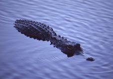 αλλιγάτορας στοκ φωτογραφία