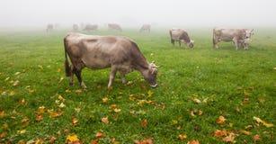 Αλπικά βοοειδή Β Στοκ Εικόνα