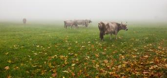 Αλπικά βοοειδή ΙΙΙ στοκ φωτογραφία