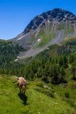 αλπικά βοοειδή στοκ εικόνες