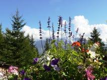 Αλπικά λουλούδια και βουνό Στοκ Φωτογραφίες