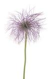 Αλπικά φρούτα anemone Στοκ φωτογραφίες με δικαίωμα ελεύθερης χρήσης