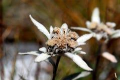 αλπικά edelweiss Στοκ εικόνα με δικαίωμα ελεύθερης χρήσης