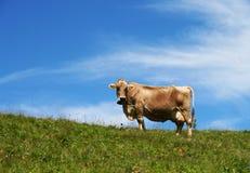 αλπική αγελάδα Στοκ Φωτογραφία