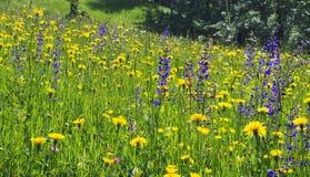 Αλπικό λιβάδι λουλουδιών στην πλήρη άνθιση Στοκ εικόνα με δικαίωμα ελεύθερης χρήσης