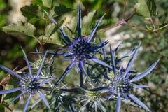 Αλπικό alpinum Eryngium ελαιόπρινου θάλασσας στοκ εικόνες με δικαίωμα ελεύθερης χρήσης