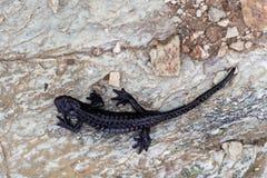 Αλπικό atra Salamandra salamander στοκ φωτογραφίες