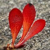 αλπικό bearberry Στοκ εικόνες με δικαίωμα ελεύθερης χρήσης