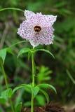 αλπικό gongga παγετώνων λουλουδιών Στοκ Εικόνα