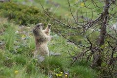αλπικό marmota μαρμοτών Στοκ Εικόνες