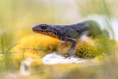 Αλπικό newt στο βρύο και τους βράχους Στοκ Εικόνες