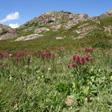 Αλπικό Wildflowers ΙΙ Στοκ φωτογραφίες με δικαίωμα ελεύθερης χρήσης