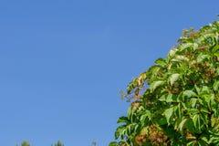 Αλσύλλια των άγριων σταφυλιών ενάντια στον μπλε θερινό ουρανό το πρωί Φυσικό υπόβαθρο των πράσινων φύλλων στοκ εικόνες με δικαίωμα ελεύθερης χρήσης
