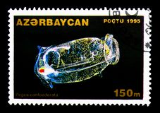 Αλυσίδα Salp (confoederata Pegea), θαλάσσια ζώα serie, circa 199 Στοκ φωτογραφία με δικαίωμα ελεύθερης χρήσης