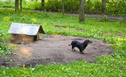 αλυσοδεμένο dachshund λουκάνικο κατοικίδιων ζώων σπιτιών σκυλιών Στοκ εικόνα με δικαίωμα ελεύθερης χρήσης