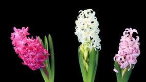 ΑΛΦΑ μεταλλίνη οφθαλμών λουλουδιών υάκινθων ανοίγματος χρόνος-σφάλματος, απόθεμα βίντεο