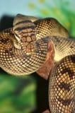 αμέθυστος python Στοκ Εικόνα