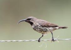 αμέθυστος sunbird Στοκ Εικόνες