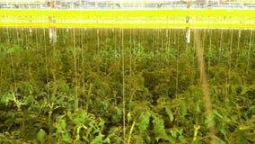 Αμέτρητες τοματιές στο θερμοκήπιο, καλλιέργεια, hydroponics σύστημα απόθεμα βίντεο