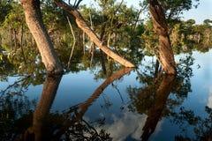 Αμαζόνειο να αντανακλάσει δέντρων στοκ φωτογραφίες με δικαίωμα ελεύθερης χρήσης