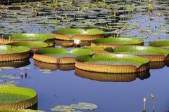 Αμαζώνα Στοκ Φωτογραφία