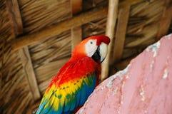 Αμαζώνα macaw Στοκ εικόνα με δικαίωμα ελεύθερης χρήσης