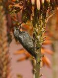 αμεθύστινο ταΐζοντας θηλυκό αλόης που ανθίζει sunbird στοκ εικόνα