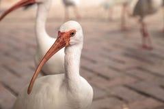 Αμερικανικά άσπρα πουλιά albus Eudocimus θρεσκιορνιθών Στοκ Φωτογραφίες