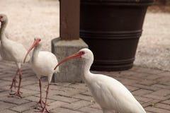 Αμερικανικά άσπρα πουλιά albus Eudocimus θρεσκιορνιθών Στοκ εικόνες με δικαίωμα ελεύθερης χρήσης