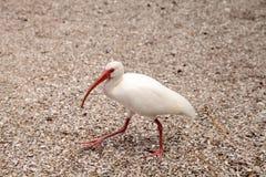 Αμερικανικά άσπρα πουλιά albus Eudocimus θρεσκιορνιθών Στοκ εικόνα με δικαίωμα ελεύθερης χρήσης