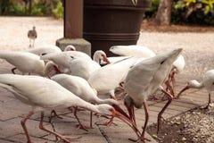 Αμερικανικά άσπρα πουλιά albus Eudocimus θρεσκιορνιθών Στοκ φωτογραφίες με δικαίωμα ελεύθερης χρήσης