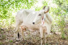 Αμερικανικά βοοειδή Brahman στα άφθονα φυσικά αγροκτήματα στοκ φωτογραφία με δικαίωμα ελεύθερης χρήσης